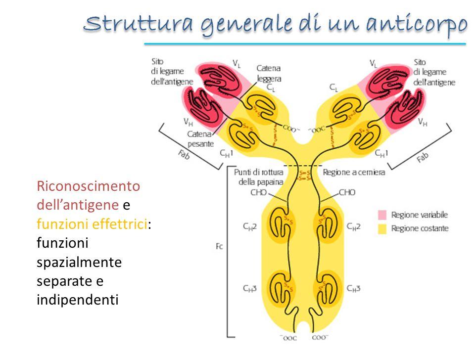 Esperimenti di clivaggio proteolitico cerniera: zona più suscettibile allattacco proteolitico (tra Cγ1 e Cγ2) La proteolisi con papaina genera: Fab antigen-binding, mantiene la capacità di legare lAg Fc, frammento cristallizzabile La proteolisi con pepsina interessa la regione C-term della cerniera e genera: Fab (Fab+cerniera) F(ab) 2 se vengono mantenuti S-S Fab e F(ab) 2 utili sperimentalmente: legano lAg ma non hanno funzione effettrice