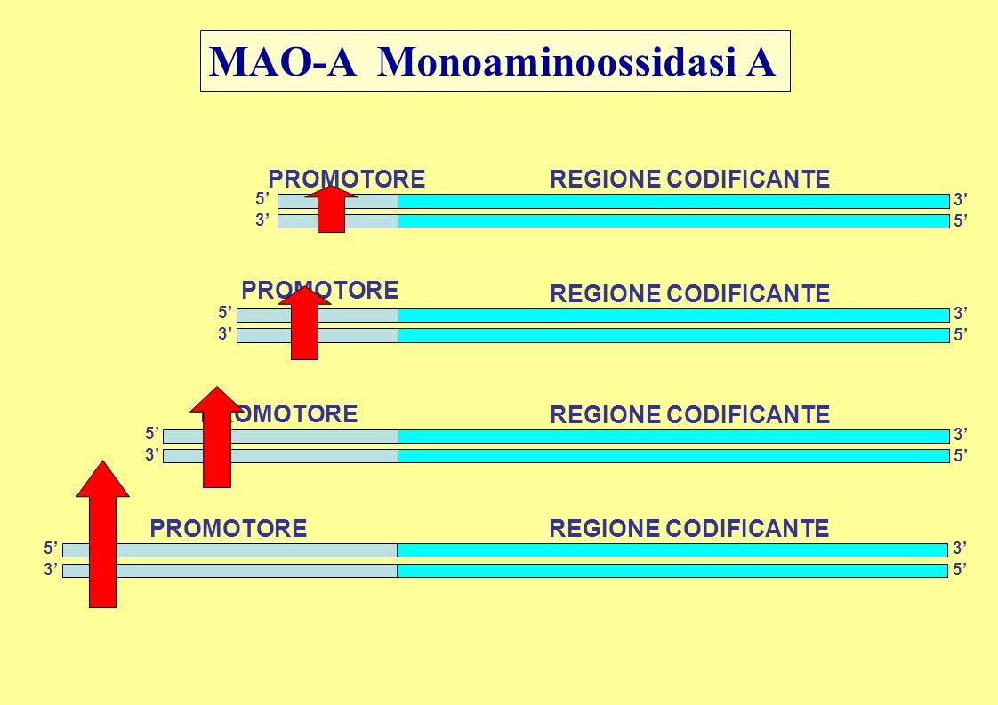 MAO-A Monoaminoossidasi A 5 3 3 5 PROMOTORE REGIONE CODIFICANTE 5 3 3 5 PROMOTORE REGIONE CODIFICANTE 5 3 3 5 PROMOTORE REGIONE CODIFICANTE 5 3 3 5 PR