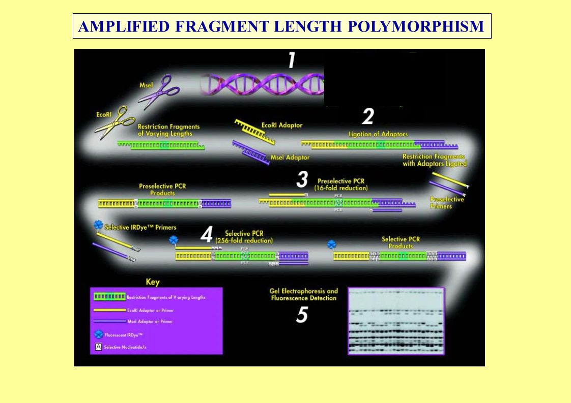NO SI AMPLIFIED FRAGMENT LENGTH POLYMORPHISM
