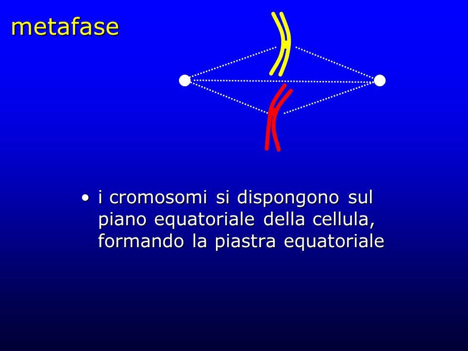 metafase i cromosomi si dispongono sul piano equatoriale della cellula, formando la piastra equatorialei cromosomi si dispongono sul piano equatoriale
