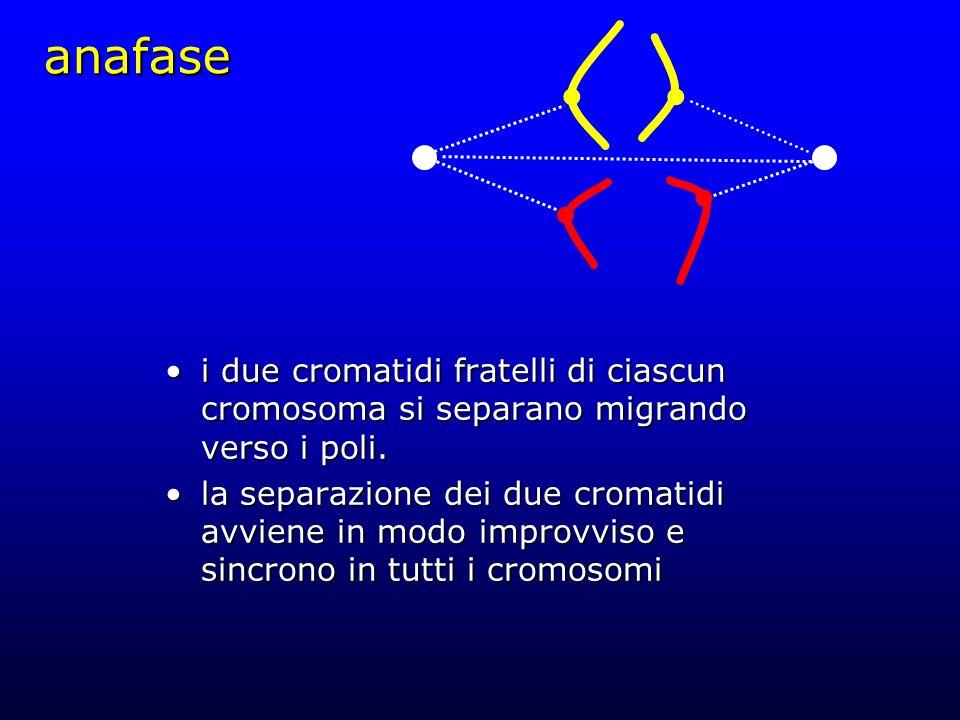 anafase i due cromatidi fratelli di ciascun cromosoma si separano migrando verso i poli.i due cromatidi fratelli di ciascun cromosoma si separano migr