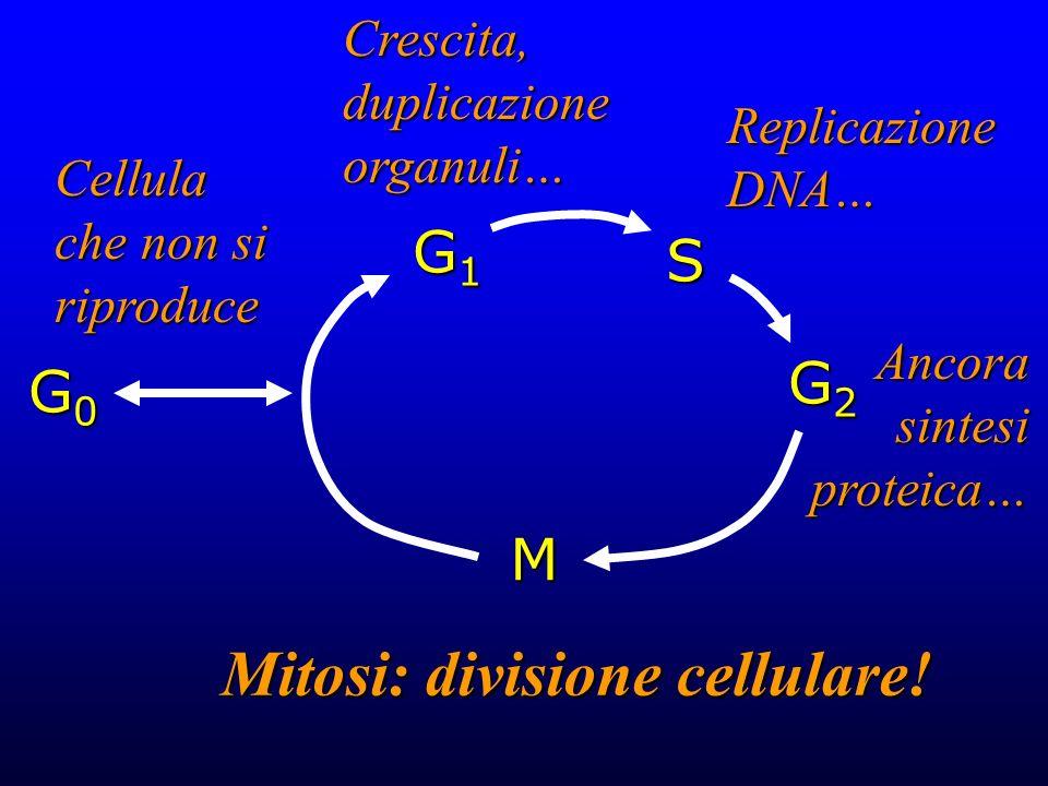 G0G0G0G0 G1G1G1G1 G2G2G2G2 S M Cellula che non si riproduce Crescita, duplicazione organuli… Replicazione DNA… Ancora sintesi proteica… Mitosi: divisi