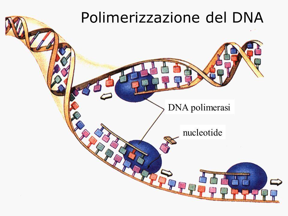 Polimerizzazione del DNA DNA polimerasi nucleotide