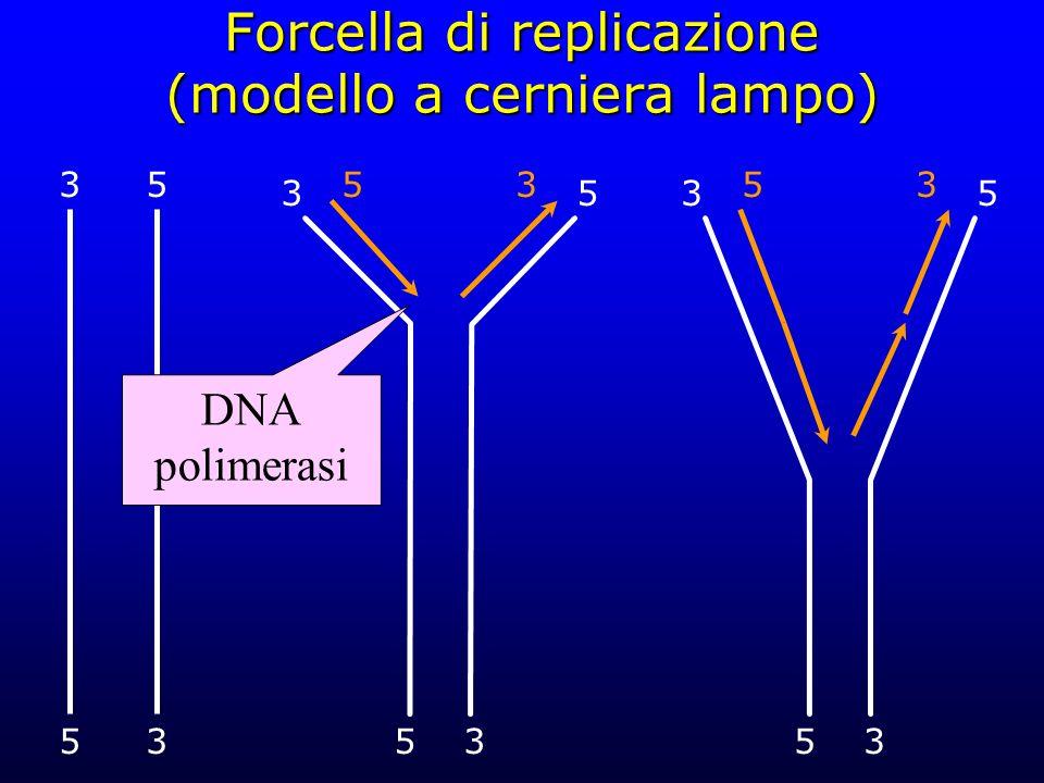 Forcella di replicazione (modello a cerniera lampo) 3 53 5 53 53 DNA polimerasi 53 53 53 53
