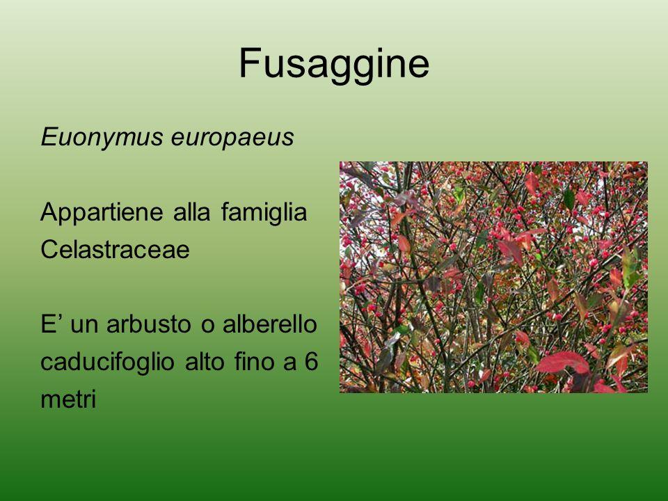Distribuzione La Fusaggine è abbastanza diffusa in Europa( In Italia si trova in pianura e in montagna fino a 1000 metri), Canada e Stati Uniti (stati centrali e orientali), soprattutto nei boschi, lungo le siepi, vicino ai corsi dacqua fino alle regioni submontane.
