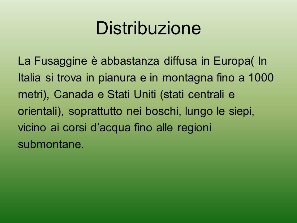 Distribuzione La Fusaggine è abbastanza diffusa in Europa( In Italia si trova in pianura e in montagna fino a 1000 metri), Canada e Stati Uniti (stati