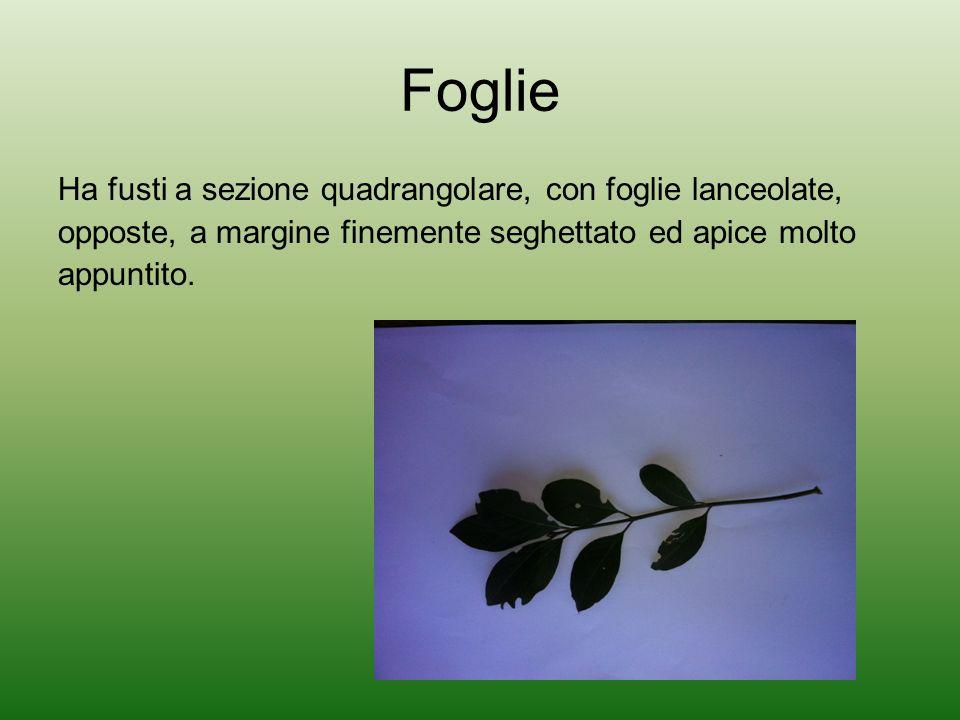 Foglie Ha fusti a sezione quadrangolare, con foglie lanceolate, opposte, a margine finemente seghettato ed apice molto appuntito.