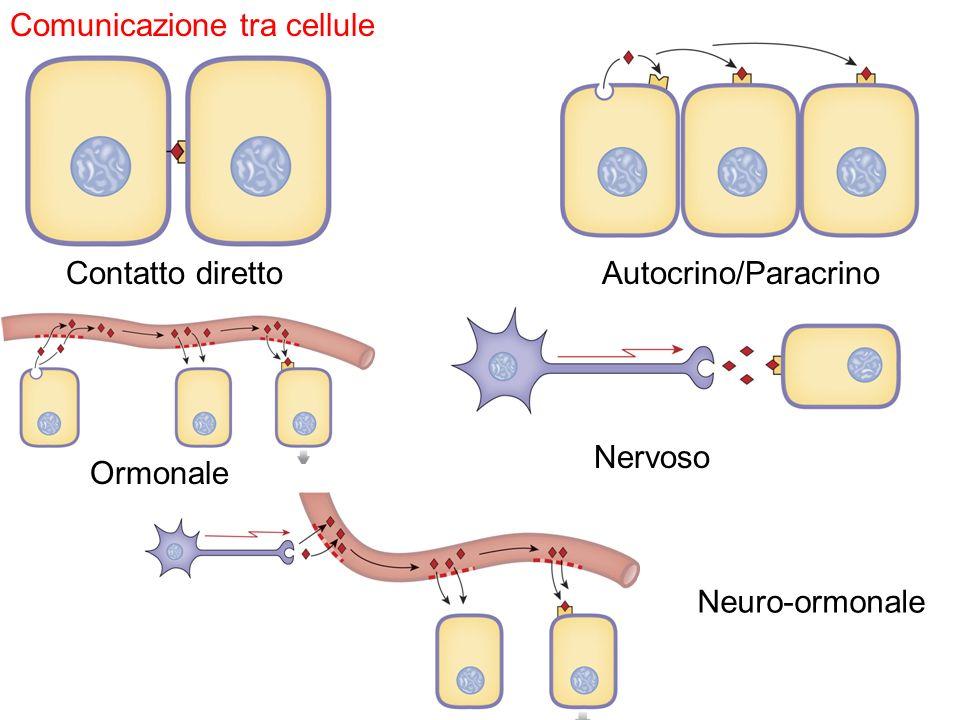 Contatto direttoAutocrino/Paracrino Ormonale Nervoso Neuro-ormonale Comunicazione tra cellule