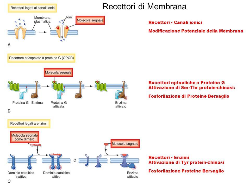 Recettori eptaeliche e Proteine G Attivazione di Ser-Thr protein-chinasi: Fosforilazione di Proteine Bersaglio Recettori - Canali ionici Modificazione