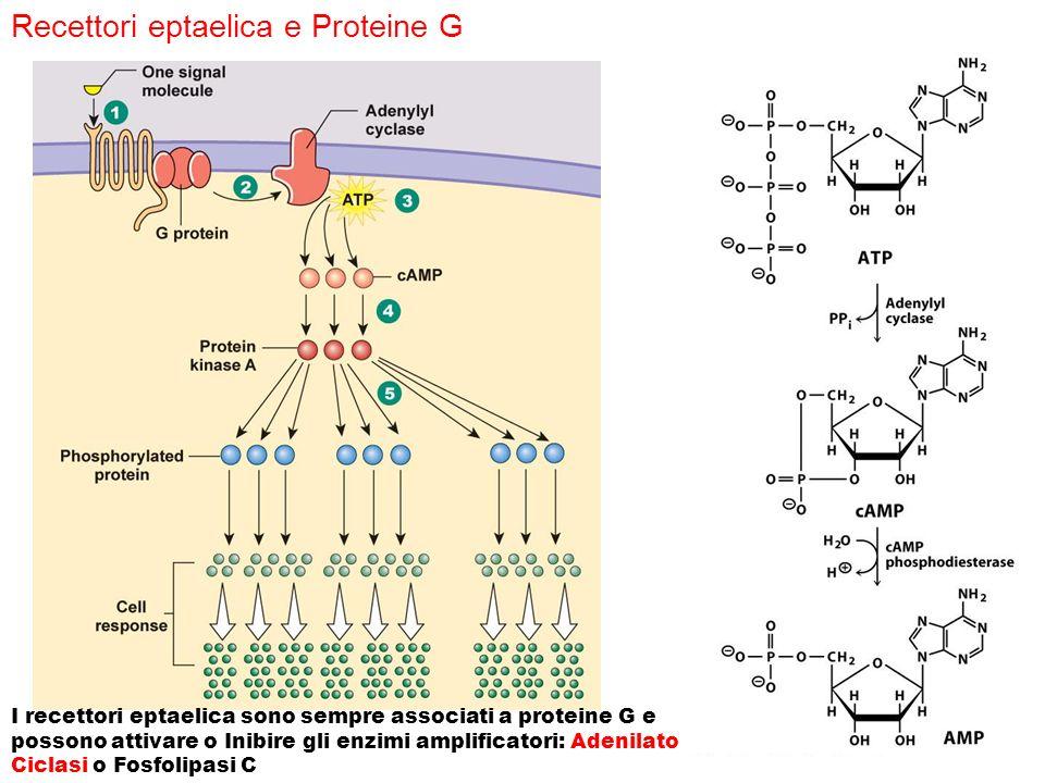 I recettori eptaelica sono sempre associati a proteine G e possono attivare o Inibire gli enzimi amplificatori: Adenilato Ciclasi o Fosfolipasi C Rece