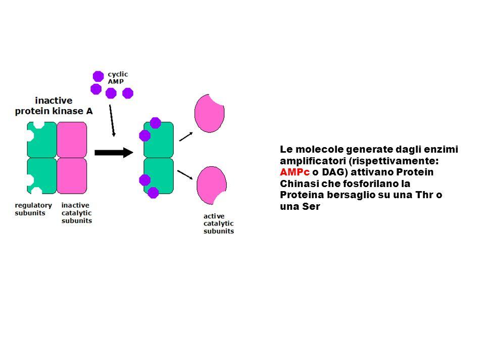 Le molecole generate dagli enzimi amplificatori (rispettivamente: AMPc o DAG) attivano Protein Chinasi che fosforilano la Proteina bersaglio su una Th