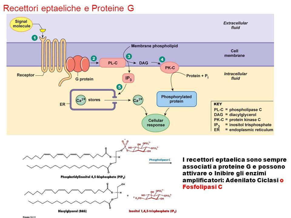 Recettori eptaeliche e Proteine G I recettori eptaelica sono sempre associati a proteine G e possono attivare o Inibire gli enzimi amplificatori: Aden