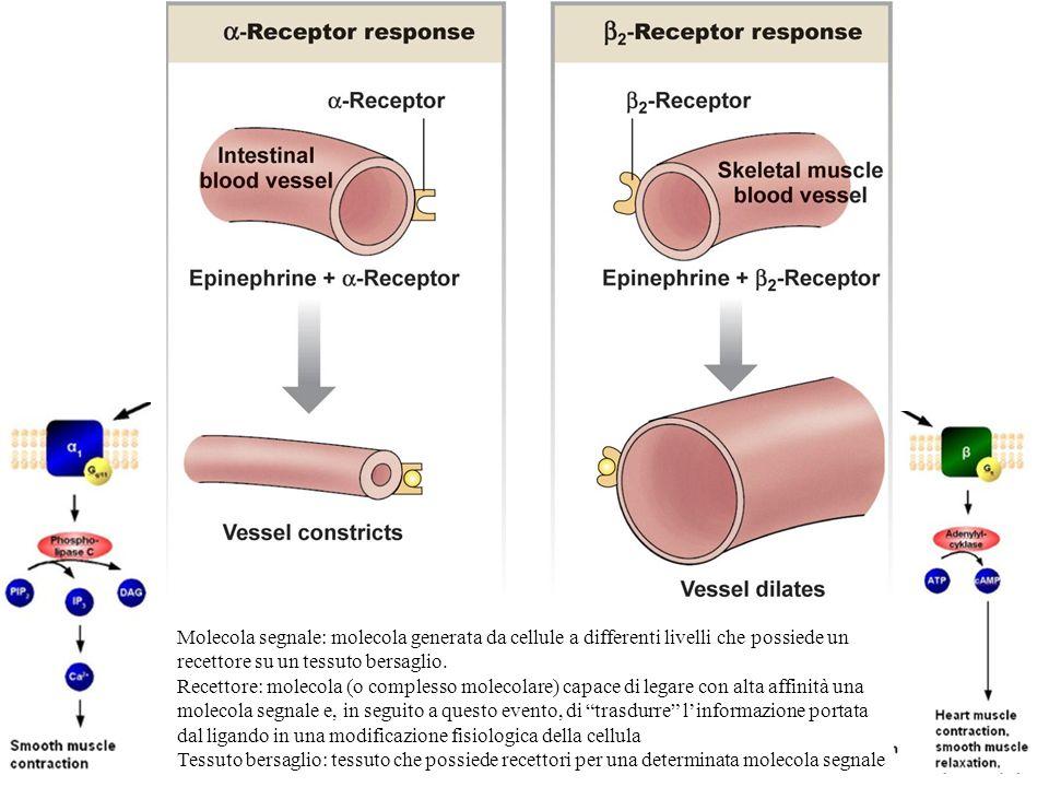 Molecola segnale: molecola generata da cellule a differenti livelli che possiede un recettore su un tessuto bersaglio. Recettore: molecola (o compless