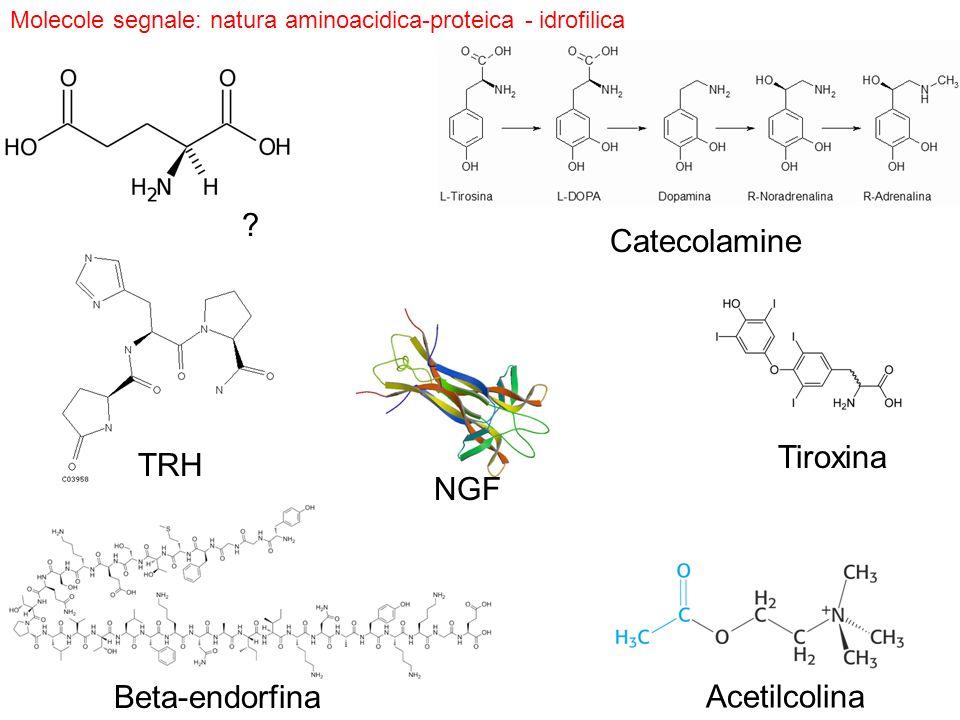 Beta-endorfina NGF TRH Tiroxina Molecole segnale: natura aminoacidica-proteica - idrofilica Catecolamine Acetilcolina ?