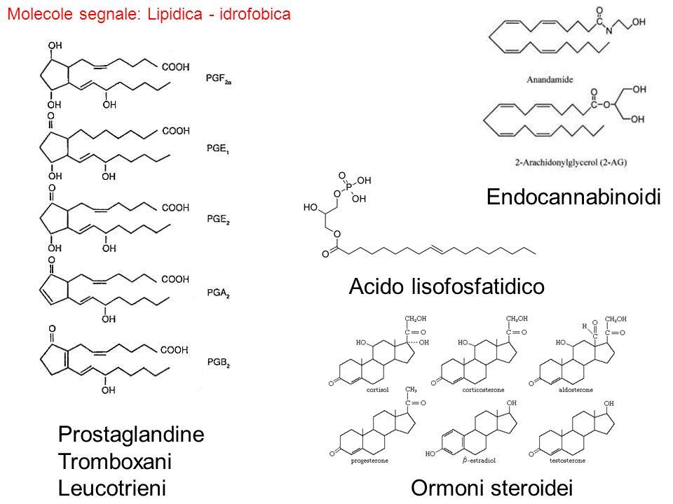 Acido lisofosfatidico Prostaglandine Tromboxani Leucotrieni Ormoni steroidei Molecole segnale: Lipidica - idrofobica Endocannabinoidi
