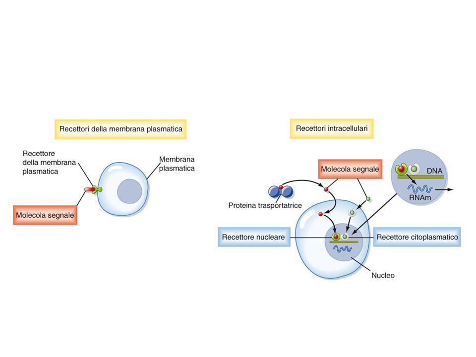 I recettori eptaelica sono sempre associati a proteine G e possono attivare o Inibire gli enzimi amplificatori: Adenilato Ciclasi o Fosfolipasi C Recettori eptaelica e Proteine G