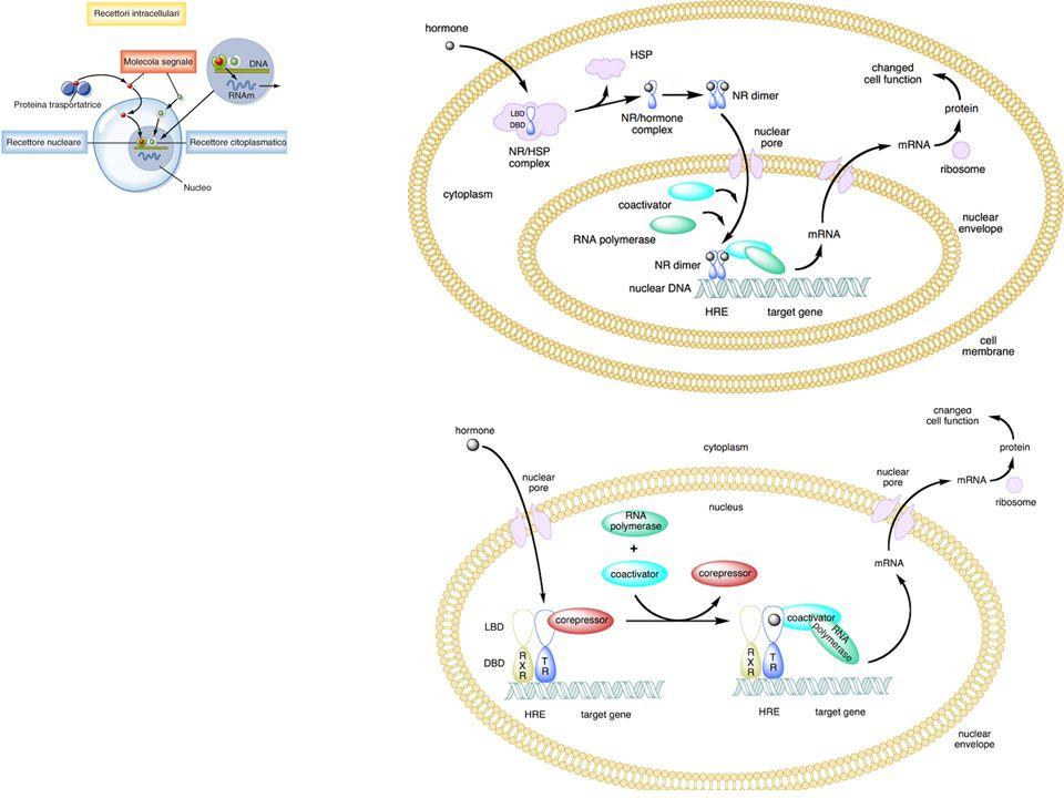 Le molecole generate dagli enzimi amplificatori (rispettivamente: AMPc o DAG) attivano Protein Chinasi che fosforilano la Proteina bersaglio su una Thr o una Ser
