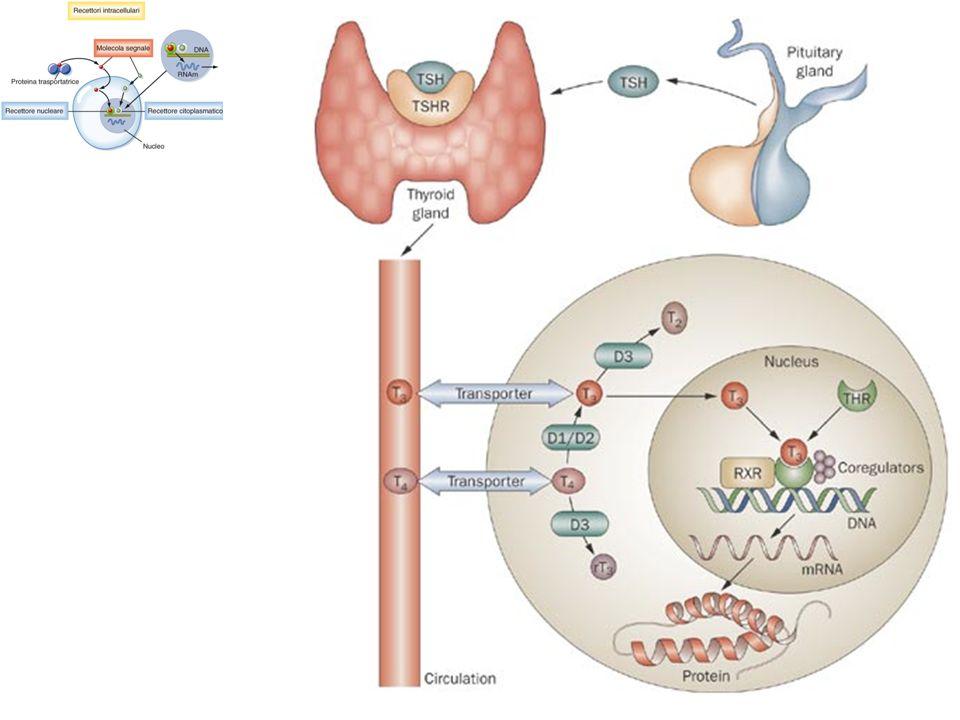 Le molecole generate dagli enzimi amplificatori (rispettivamente: AMPc o DAG) attivano Protein Chinasi che fosforilano la Proteina bersaglio su una Thr o una Ser Recettori eptaeliche e Proteine G