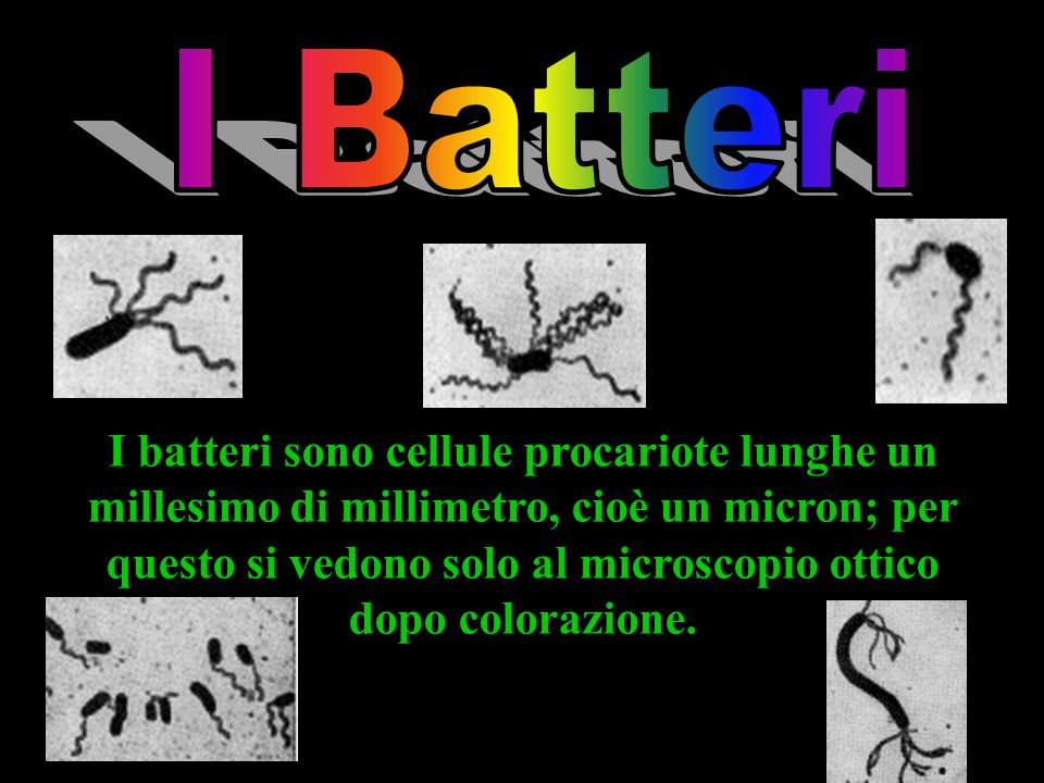 I batteri sono cellule procariote lunghe un millesimo di millimetro, cioè un micron; per questo si vedono solo al microscopio ottico dopo colorazione.