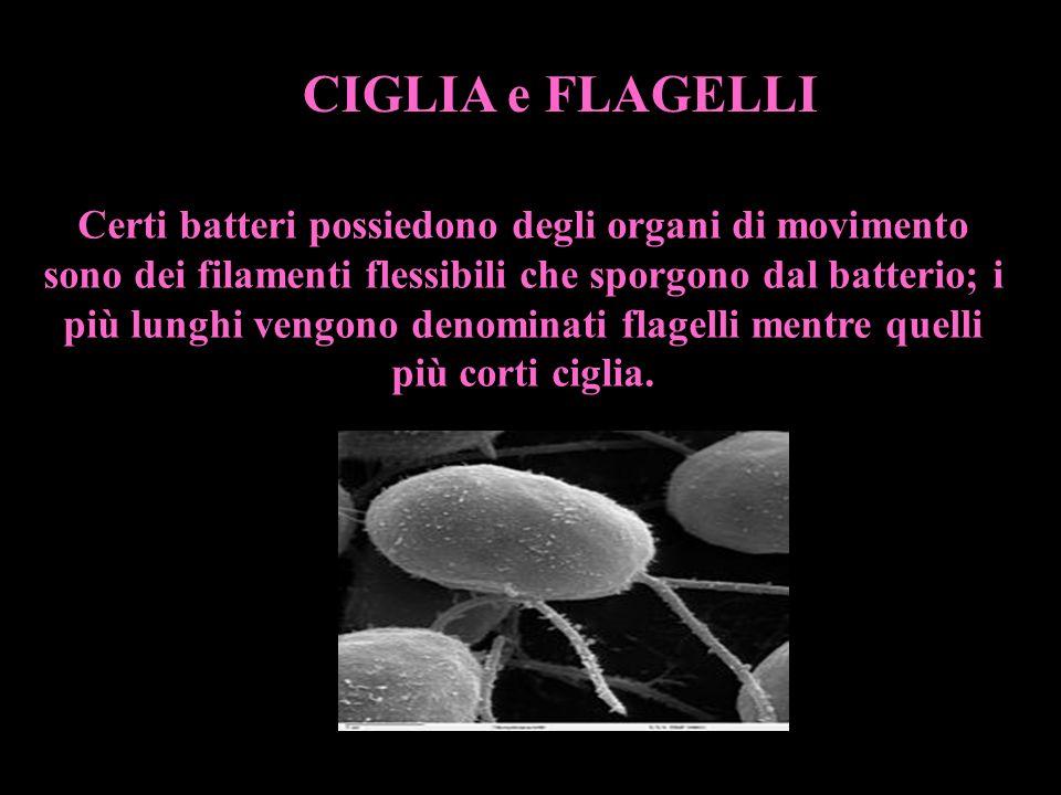 Certi batteri possiedono degli organi di movimento sono dei filamenti flessibili che sporgono dal batterio; i più lunghi vengono denominati flagelli m