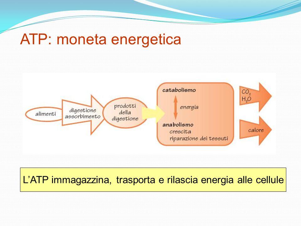 ATP: moneta energetica LATP immagazzina, trasporta e rilascia energia alle cellule