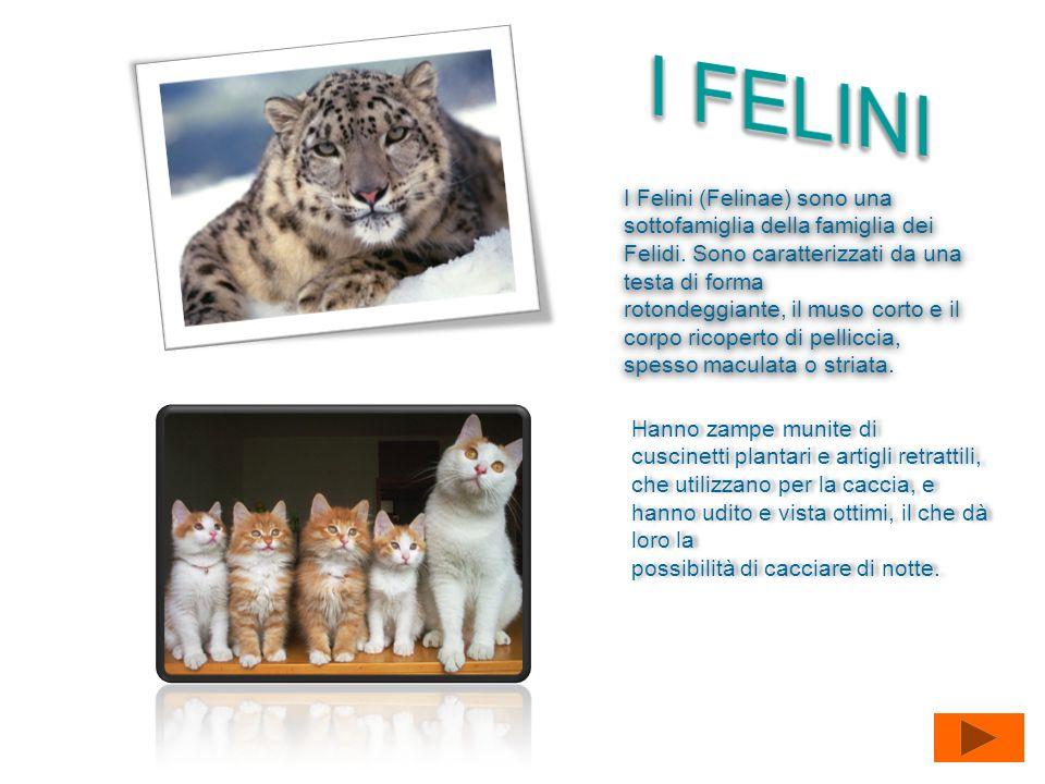 I Felini (Felinae) sono una sottofamiglia della famiglia dei Felidi. Sono caratterizzati da una testa di forma rotondeggiante, il muso corto e il corp