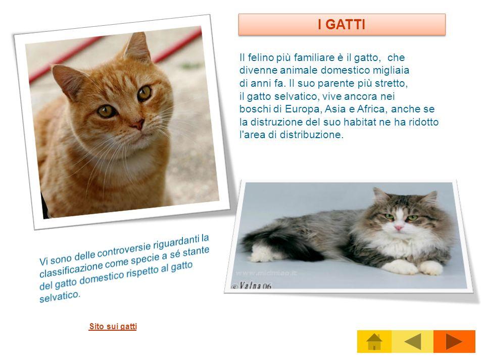 Il felino più familiare è il gatto, che divenne animale domestico migliaia di anni fa. Il suo parente più stretto, il gatto selvatico, vive ancora nei