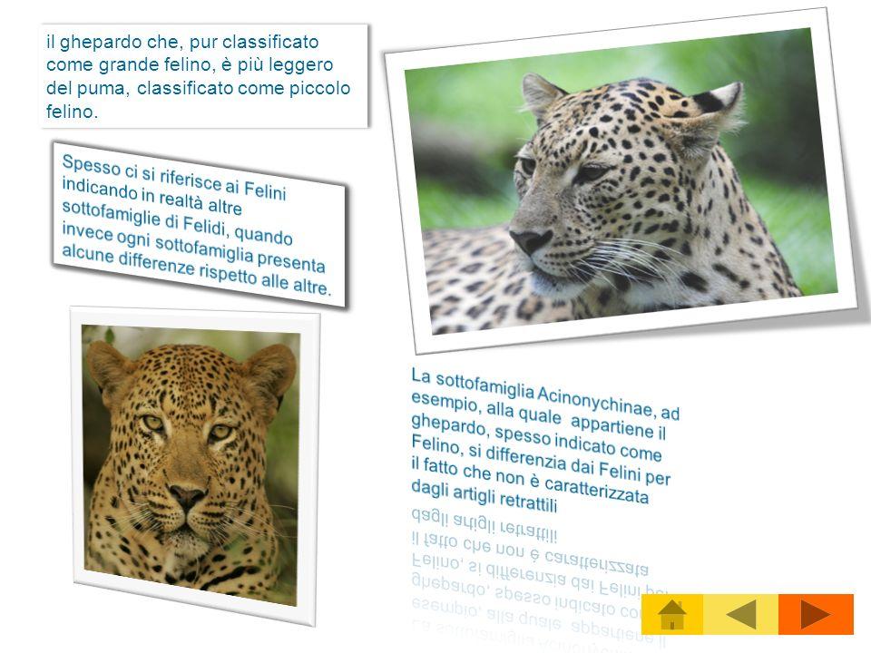 il ghepardo che, pur classificato come grande felino, è più leggero del puma, classificato come piccolo felino. il ghepardo che, pur classificato come