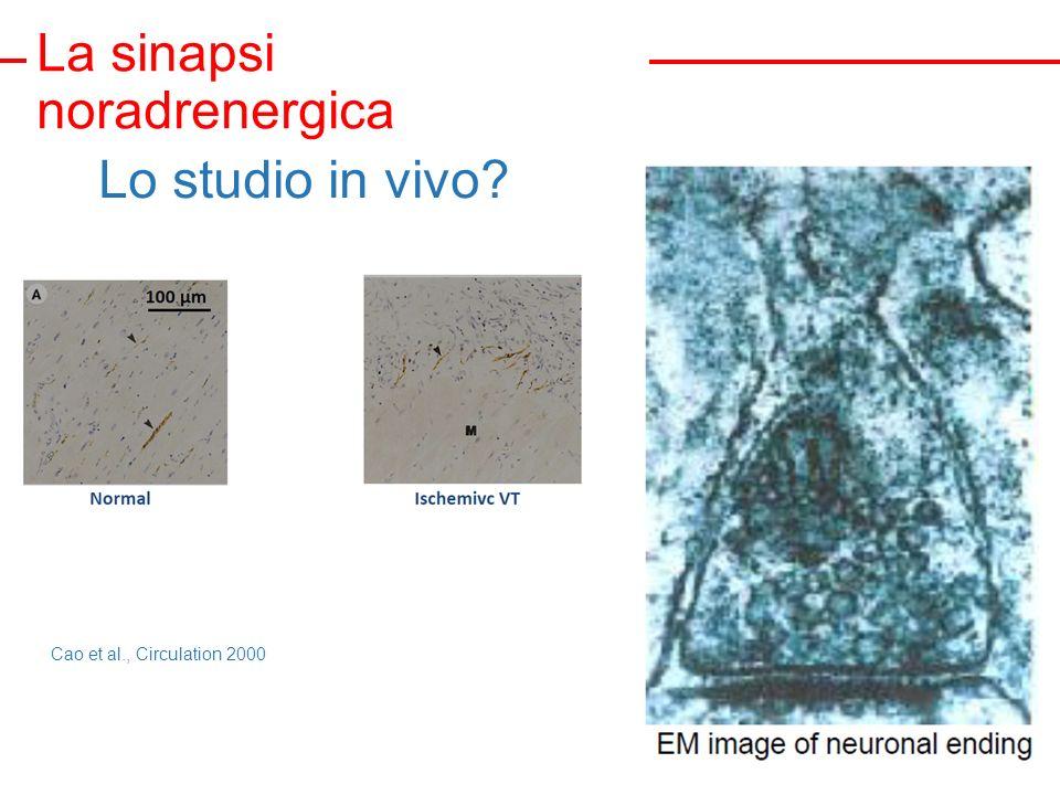 La sinapsi noradrenergica Lo studio in vivo? Cao et al., Circulation 2000