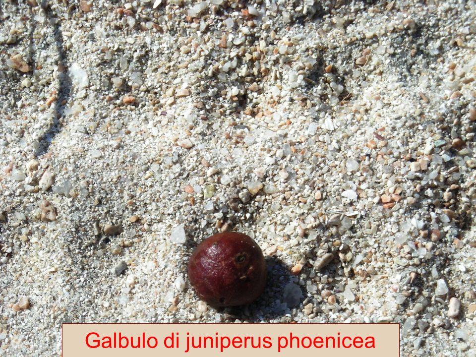 Galbulo di juniperus phoenicea