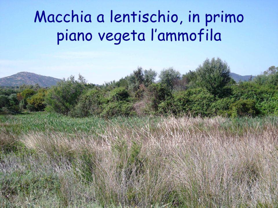 Macchia a lentischio, in primo piano vegeta lammofila