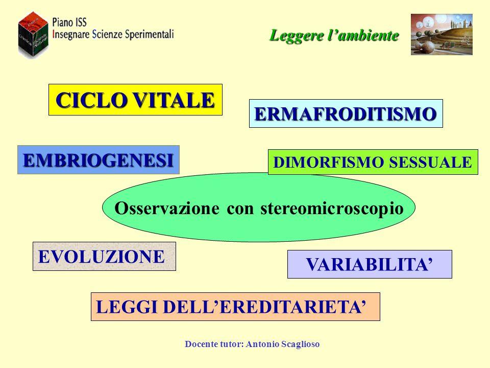 Docente tutor: Antonio Scaglioso Osservazione con stereomicroscopio DIMORFISMO SESSUALE LEGGI DELLEREDITARIETA CICLO VITALE VARIABILITA EVOLUZIONE ERM