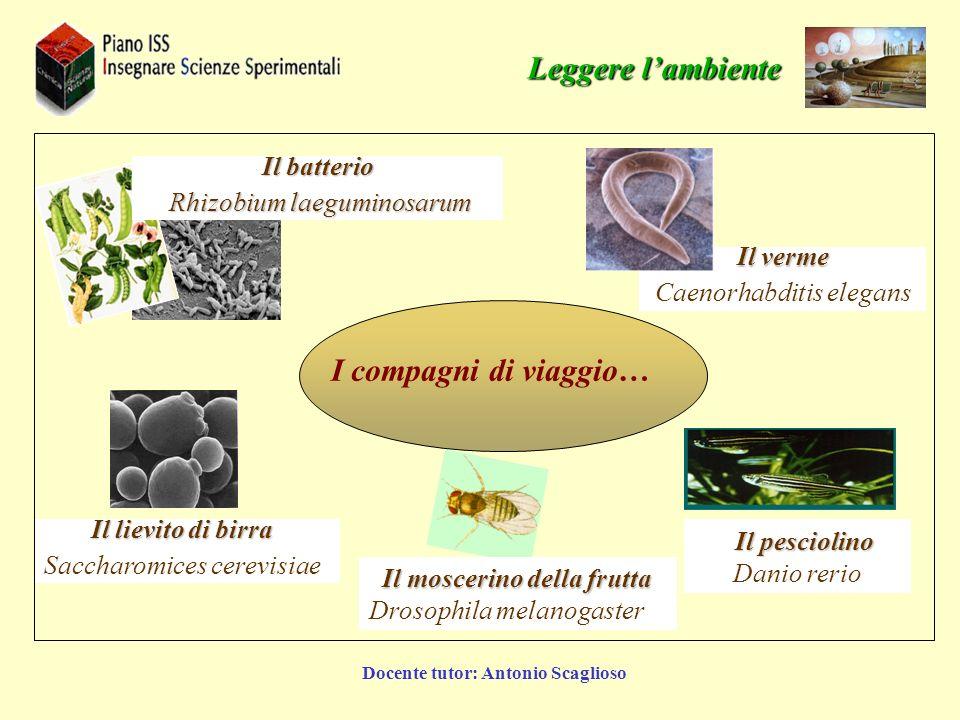 Docente tutor: Antonio Scaglioso Il verme Caenorhabditis elegans Il batterio Rhizobium laeguminosarum Rhizobium laeguminosarum Il lievito di birra Sac