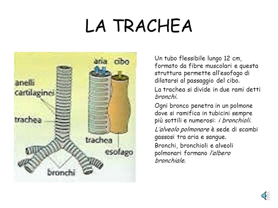 LA TRACHEA Un tubo flessibile lungo 12 cm, formato da fibre muscolari e questa struttura permette allesofago di dilatarsi al passaggio del cibo.