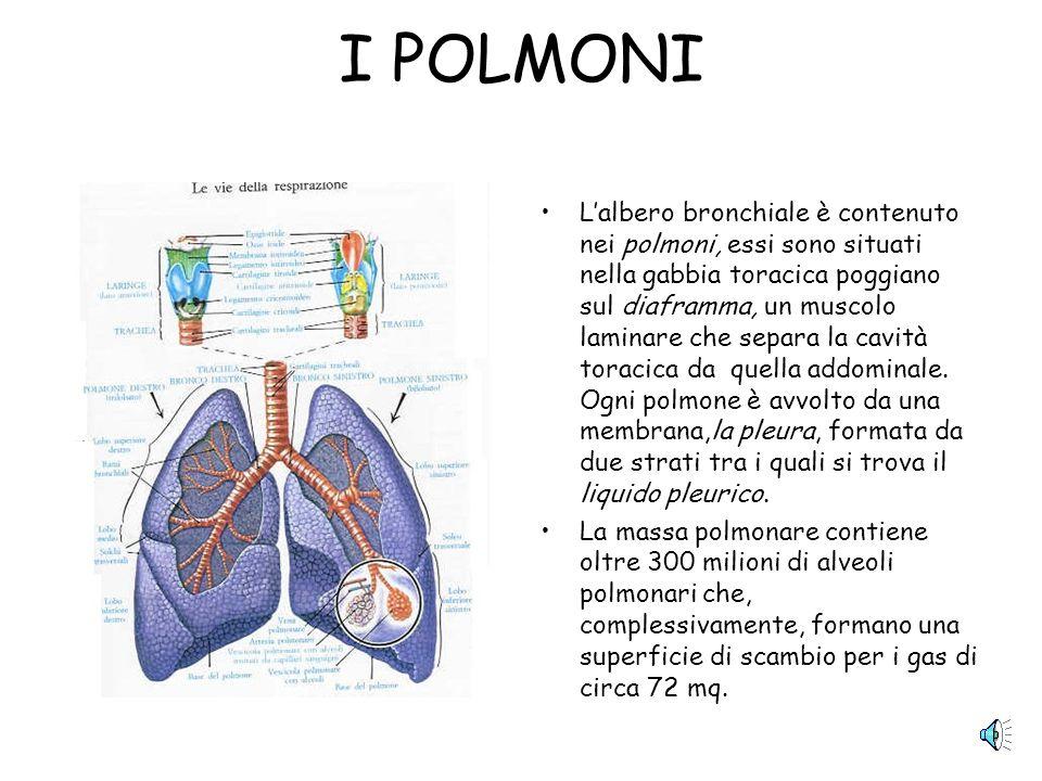 I POLMONI Lalbero bronchiale è contenuto nei polmoni, essi sono situati nella gabbia toracica poggiano sul diaframma, un muscolo laminare che separa la cavità toracica da quella addominale.