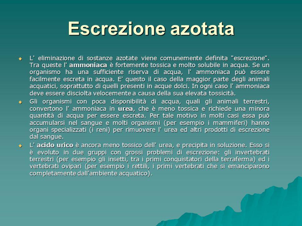 Escrezione azotata L eliminazione di sostanze azotate viene comunemente definita escrezione .