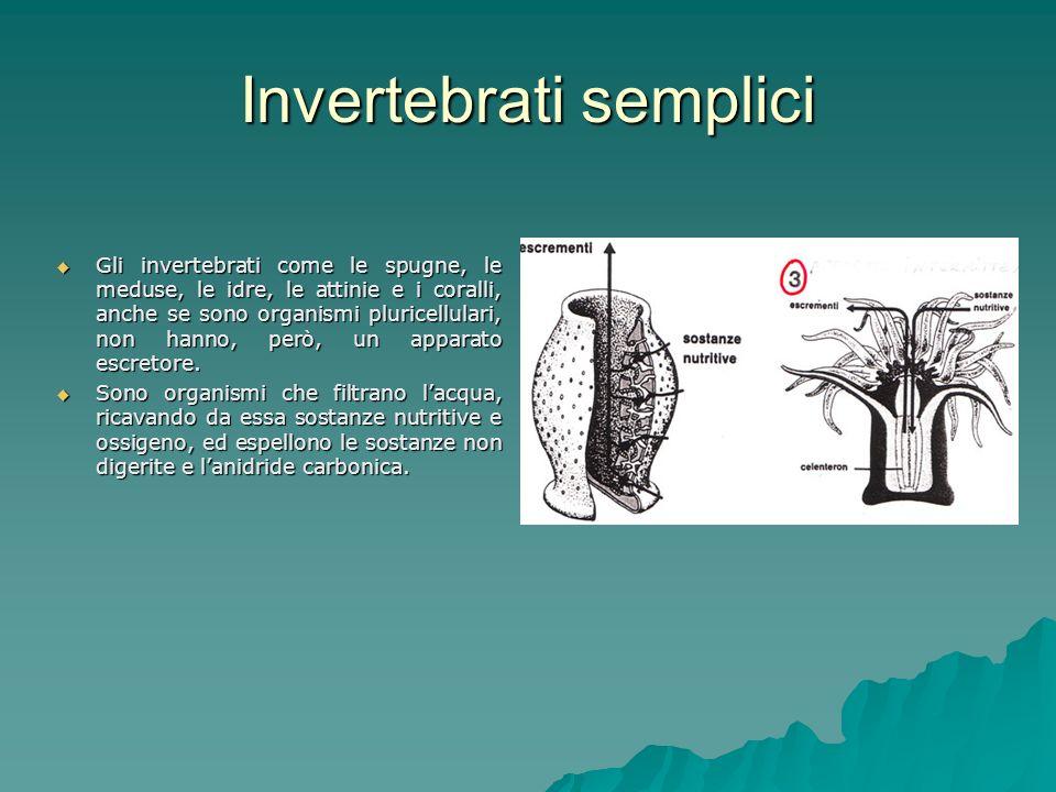 Invertebrati semplici Gli invertebrati come le spugne, le meduse, le idre, le attinie e i coralli, anche se sono organismi pluricellulari, non hanno, però, un apparato escretore.