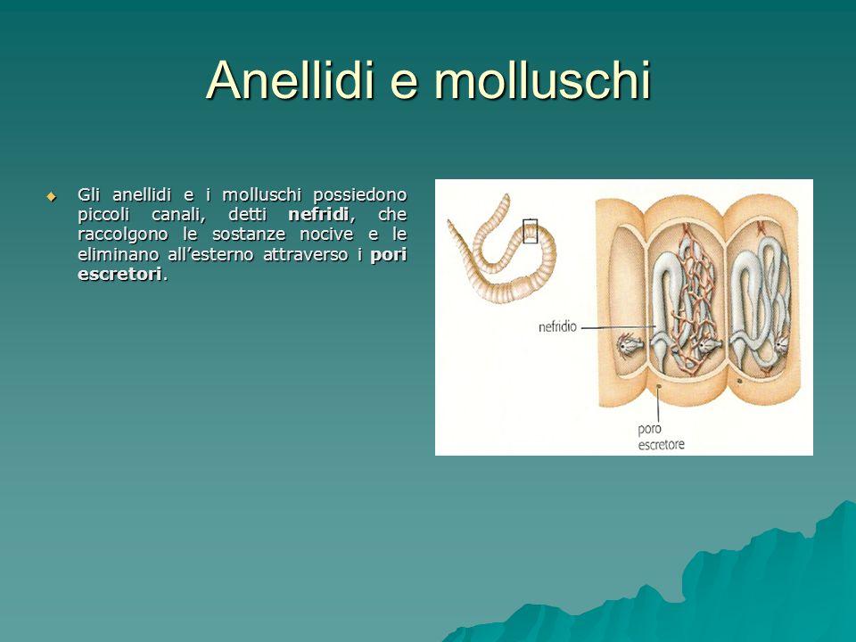 Anellidi e molluschi Gli anellidi e i molluschi possiedono piccoli canali, detti nefridi, che raccolgono le sostanze nocive e le eliminano allesterno attraverso i pori escretori.
