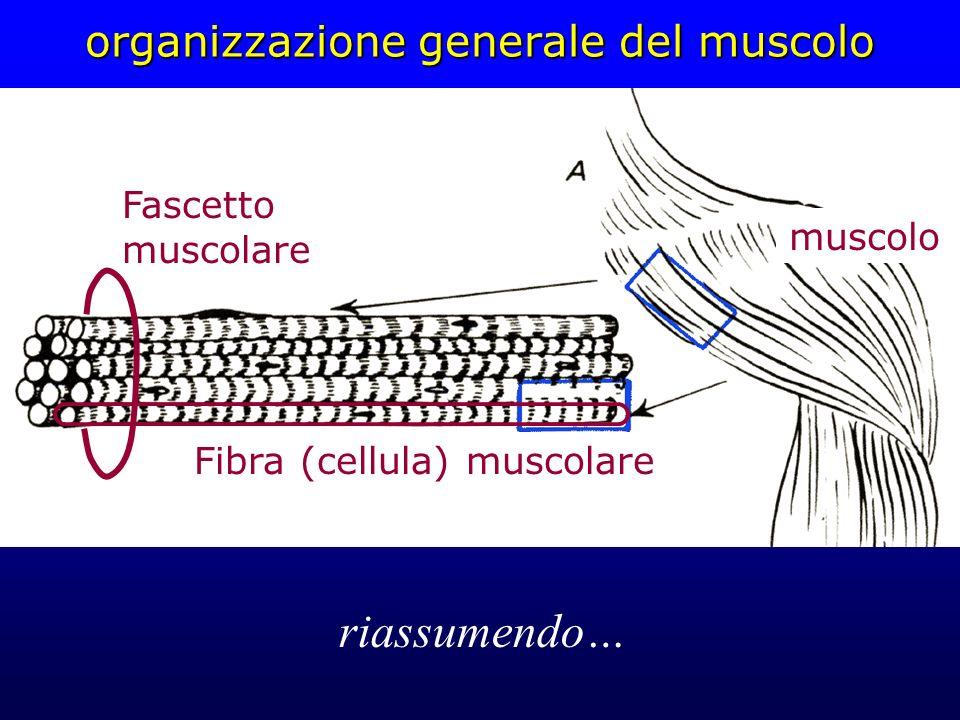 organizzazione generale del muscolo muscolo Fascetto muscolare Fibra (cellula) muscolare riassumendo…