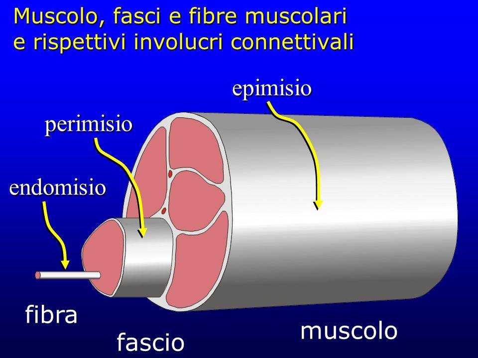 Muscolo, fasci e fibre muscolari e rispettivi involucri connettivali muscolo fascio fibraperimisio endomisio epimisio