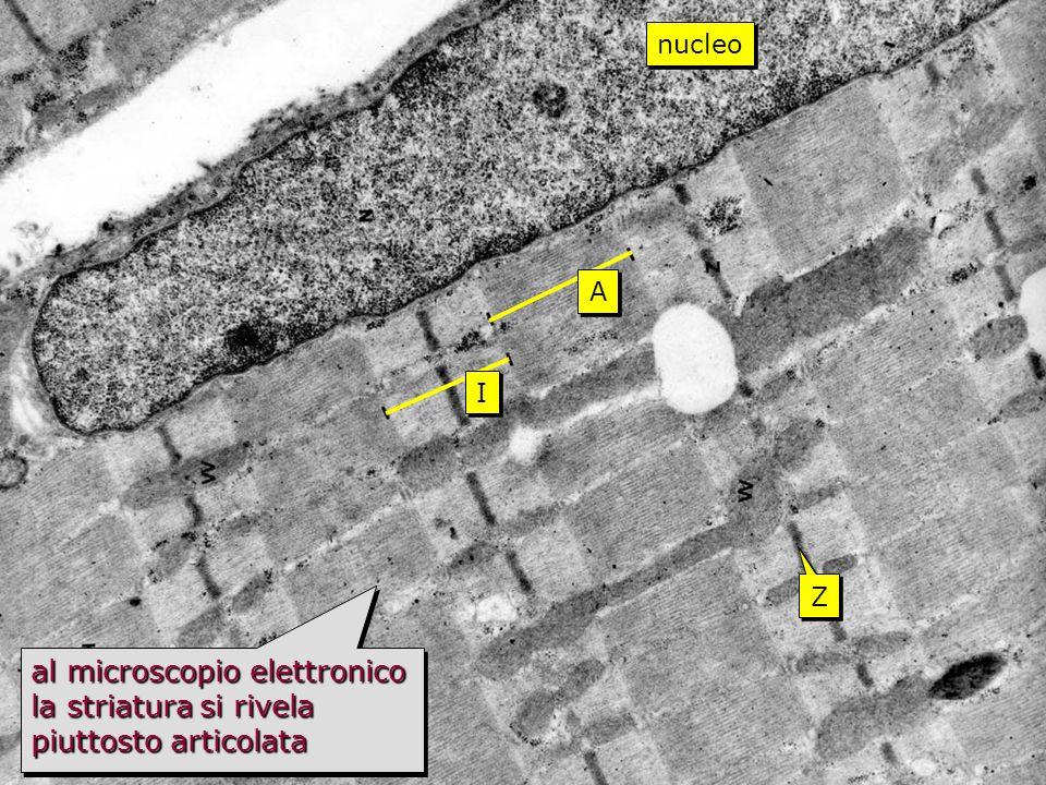 striato TEM Z Z I I A A al microscopio elettronico la striatura si rivela piuttosto articolata nucleo