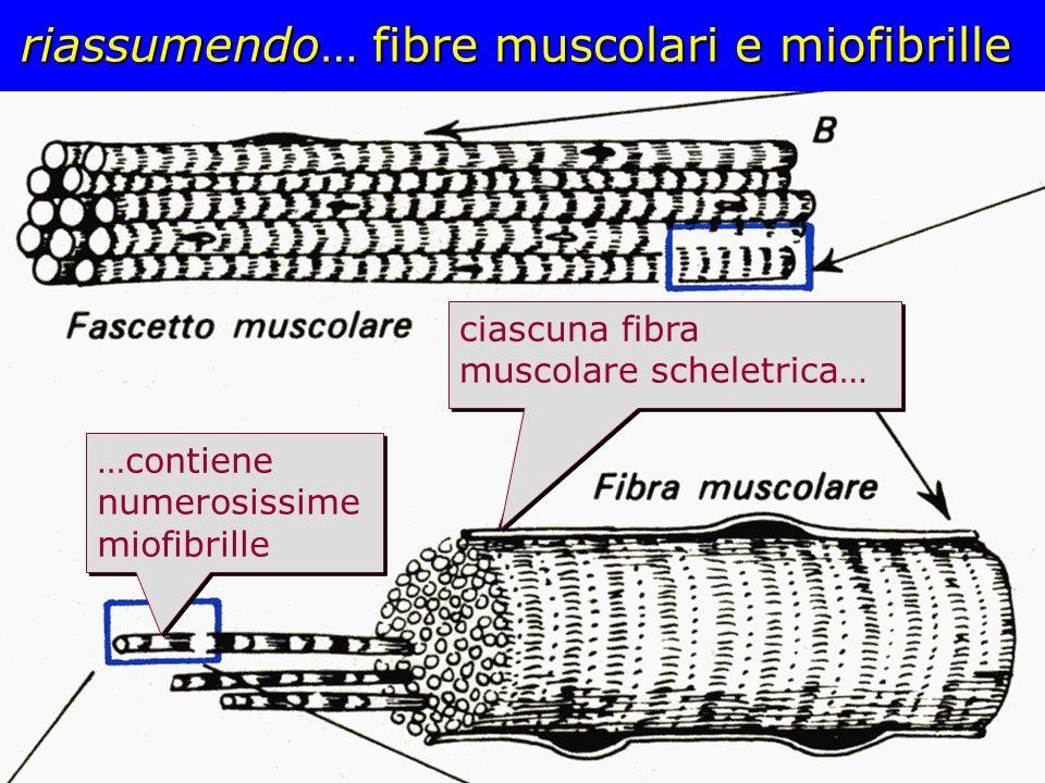 riassumendo… fibre muscolari e miofibrille ciascuna fibra muscolare scheletrica… …contiene numerosissime miofibrille
