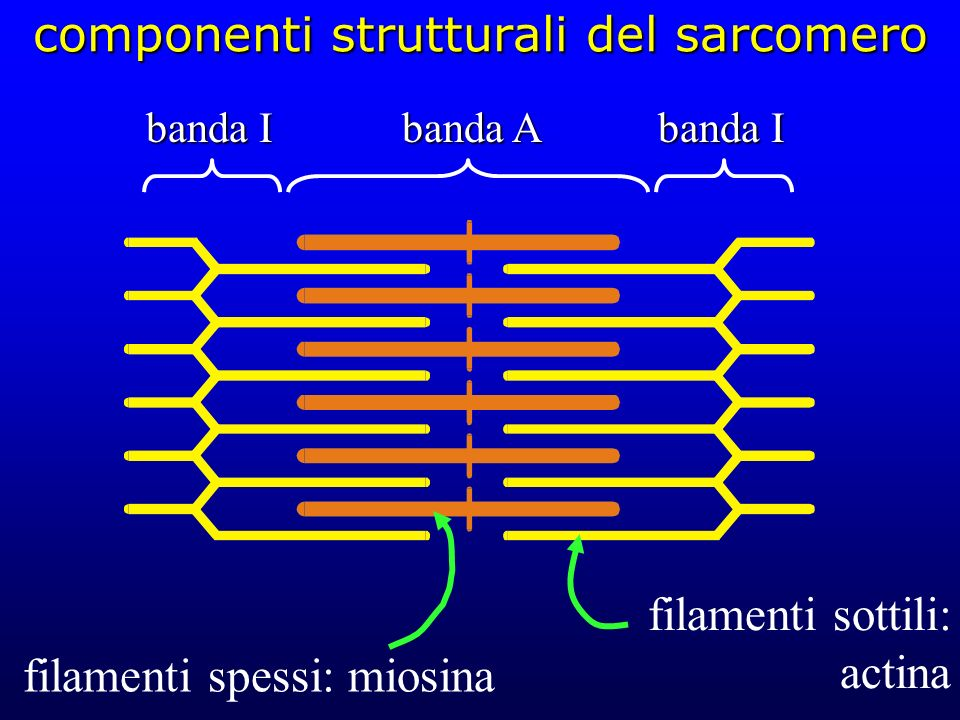 componenti strutturali del sarcomero filamenti spessi: miosina filamenti sottili: actina banda I banda A