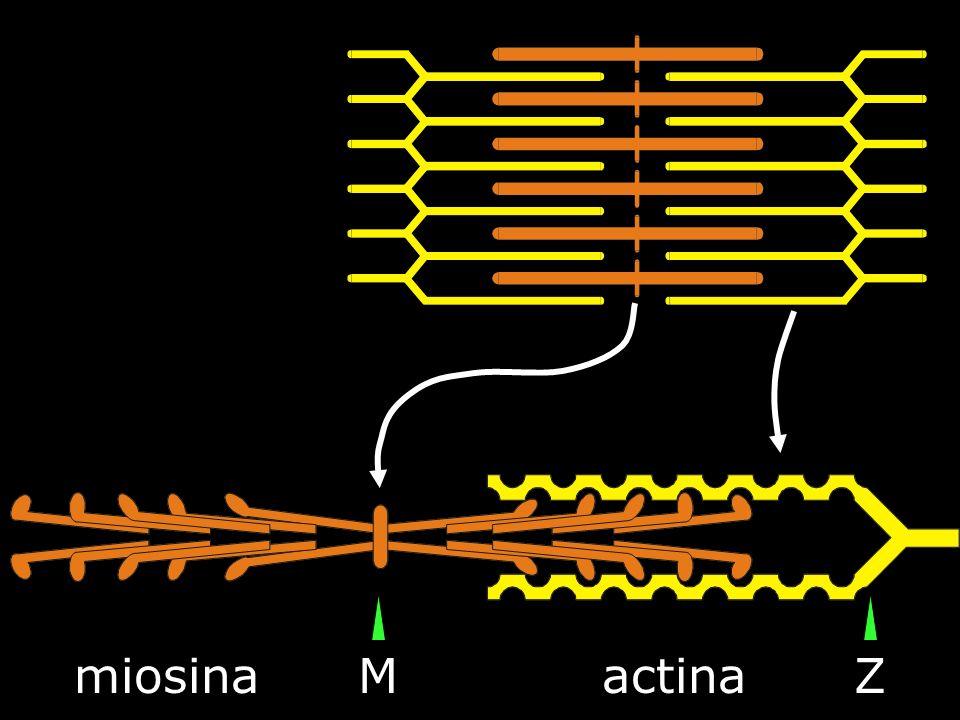 miosinaactinaMZ