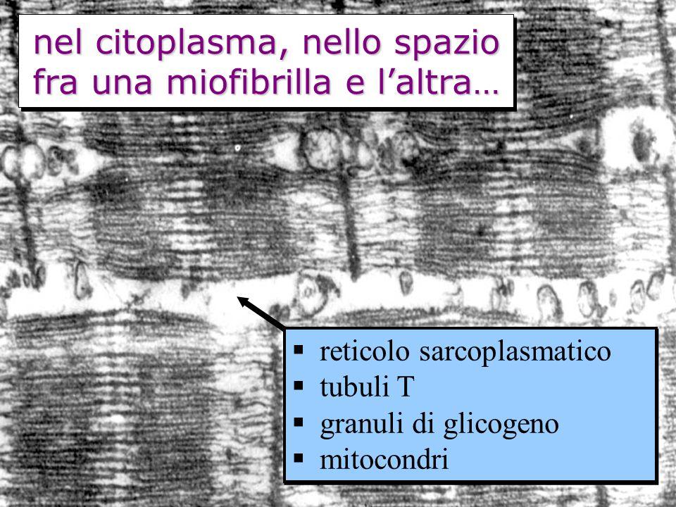 nel citoplasma, nello spazio fra una miofibrilla e laltra… reticolo sarcoplasmatico tubuli T granuli di glicogeno mitocondri reticolo sarcoplasmatico tubuli T granuli di glicogeno mitocondri