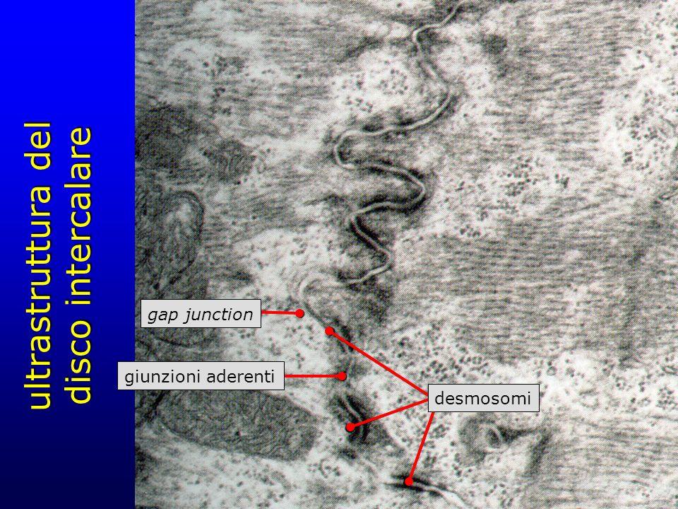 ultrastruttura del disco intercalare desmosomi gap junction giunzioni aderenti