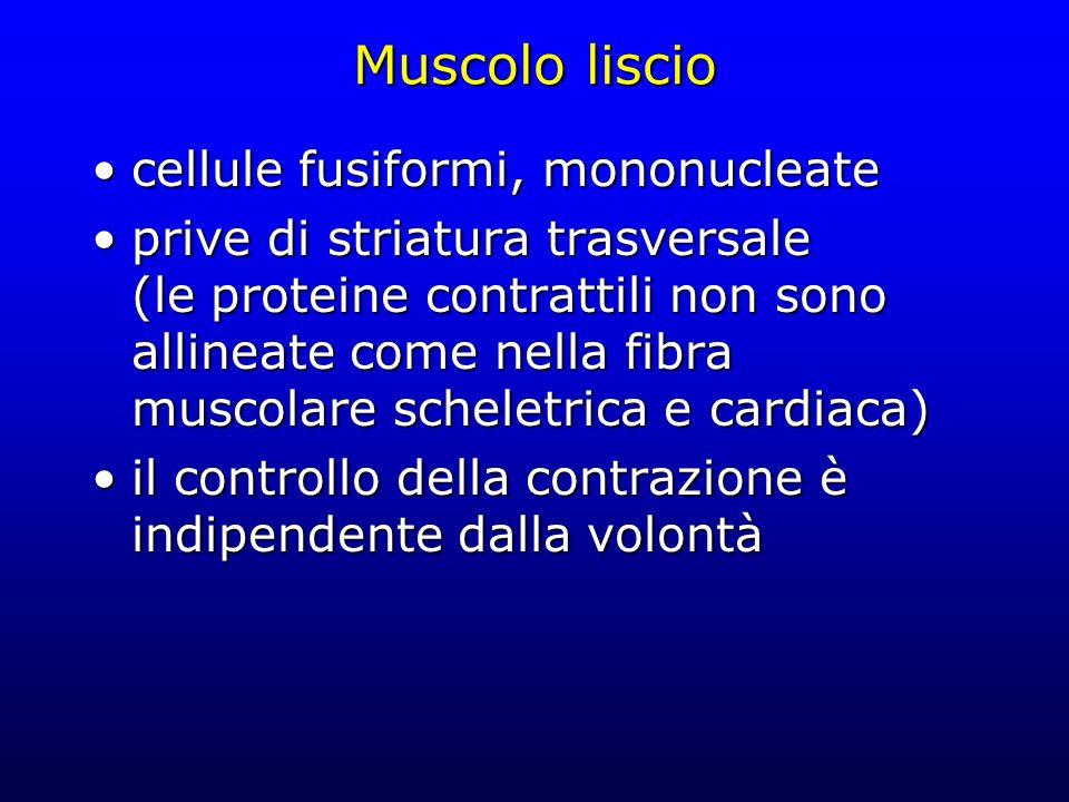 Muscolo liscio cellule fusiformi, mononucleatecellule fusiformi, mononucleate prive di striatura trasversale (le proteine contrattili non sono allineate come nella fibra muscolare scheletrica e cardiaca)prive di striatura trasversale (le proteine contrattili non sono allineate come nella fibra muscolare scheletrica e cardiaca) il controllo della contrazione è indipendente dalla volontàil controllo della contrazione è indipendente dalla volontà