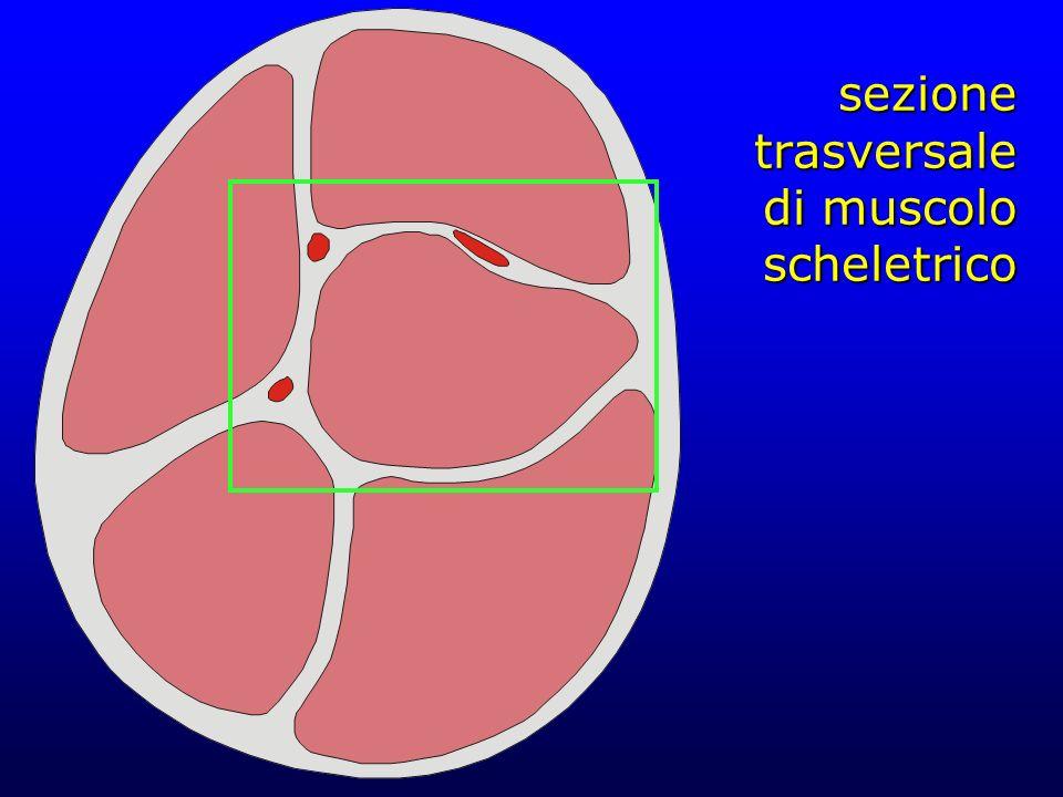 sezione trasversale di muscolo scheletrico