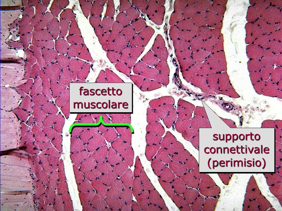 muscolo scheletrico in sezione trasversale fascettomuscolarefascettomuscolare supporto connettivale (perimisio)