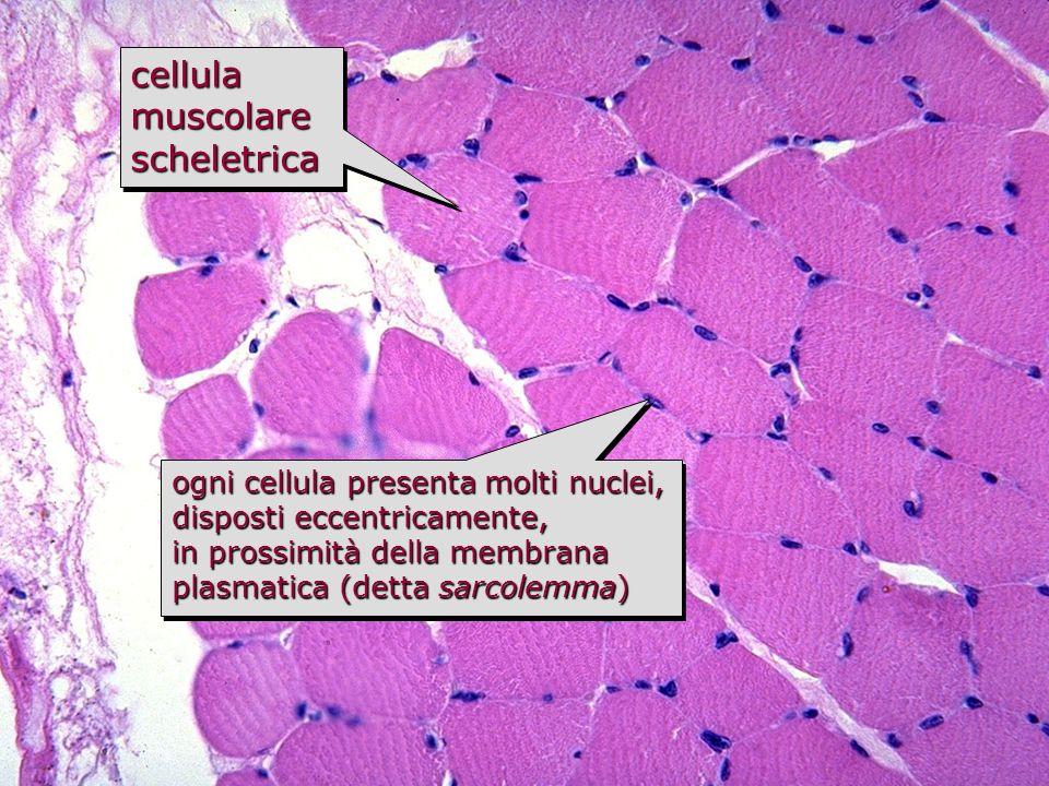 fibra muscolare scheletrica è un sincizio polinucleatoè un sincizio polinucleato (massa citoplasmatica dotata di numerosi nuclei che deriva dalla fusione, durante lo sviluppo, di cellule progenitrici mononucleate) è una cellula di dimensioni notevolissimeè una cellula di dimensioni notevolissime –diametro 50-60 µm –lunghezza anche fino a 10 cm